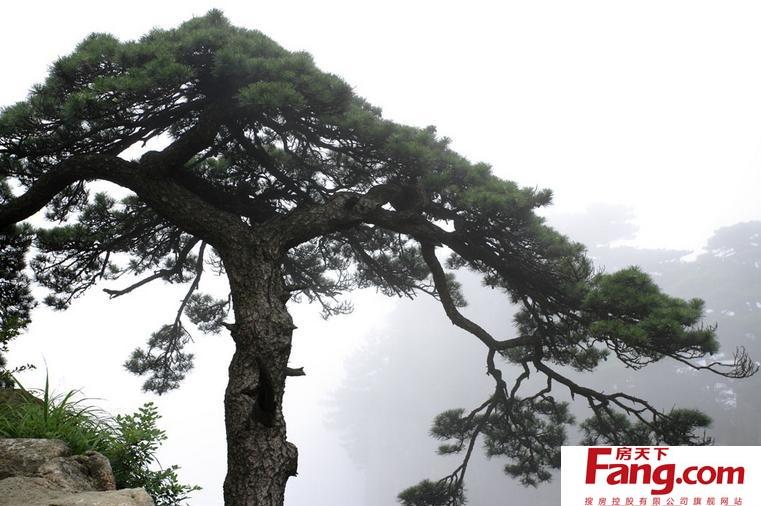 松树图片大全 松树的种类