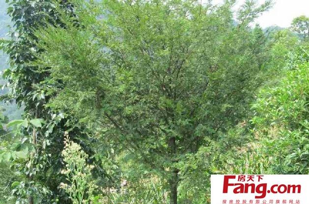 红豆杉的功效与作用 两种吃法总结!