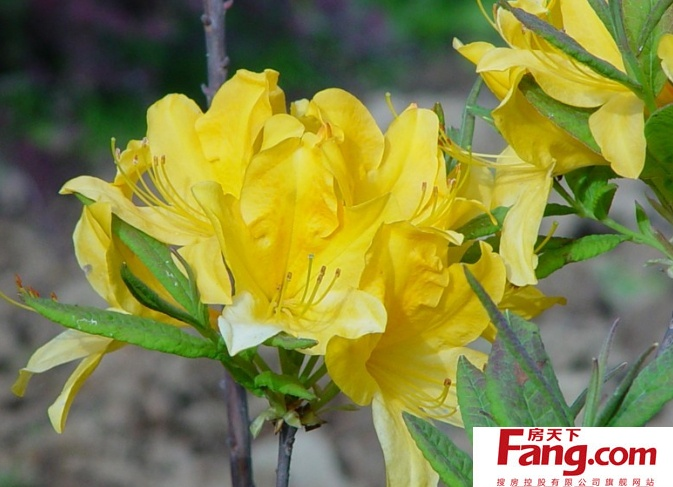 黄杜鹃花图片大全 黄杜鹃花的作用