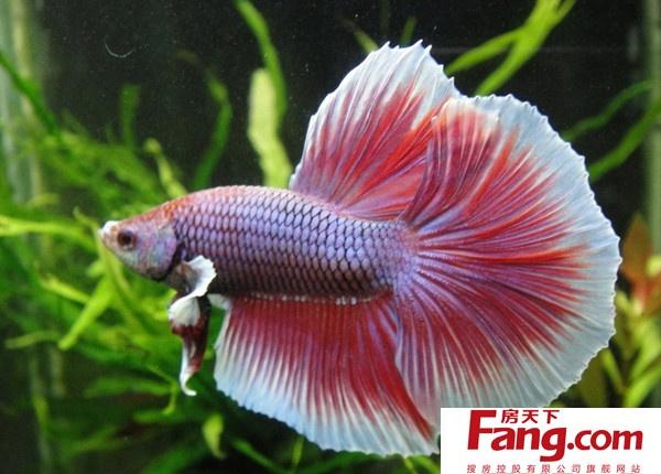斗鱼图片欣赏 美丽的大尾巴鱼
