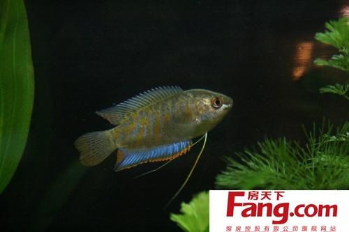 养技巧 丽丽鱼分公母图解图片