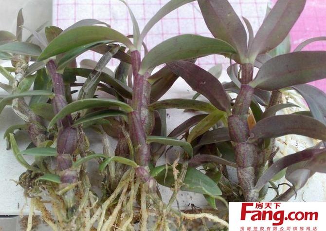紫皮石斛的功效与作用