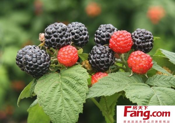 黑水果图片大全可爱