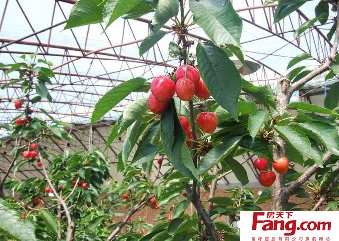 樱桃树种植技术 樱桃树种植注意事项