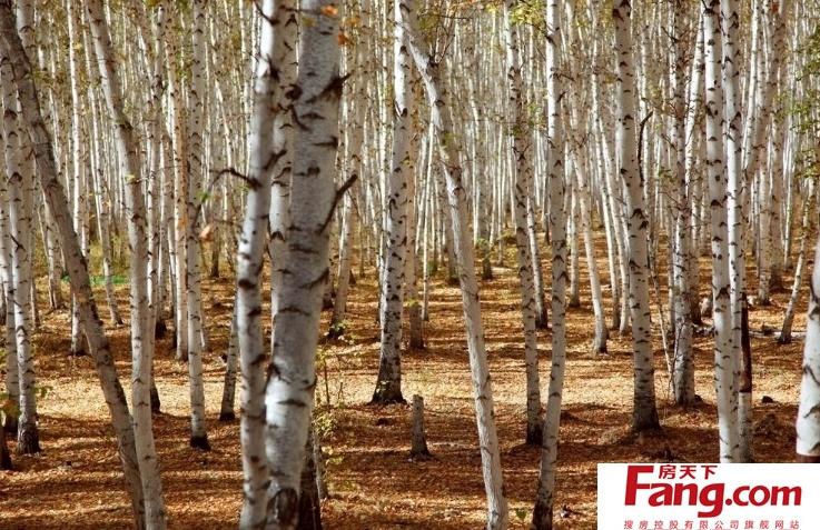 白桦树图片大全 白桦树的资料特点