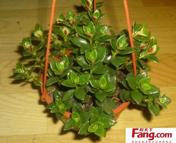 繁殖:金鱼吊兰一般用分株或随时剪取花葶上带气生根的幼株直接栽种