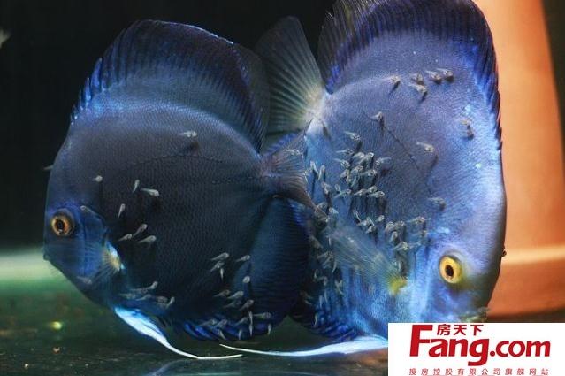 母鱼的臀鳍呈圆形.可以认为母鱼臀鳍是三角形,公鱼为棒状.