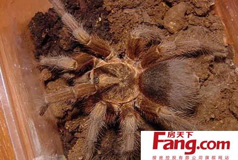 世界上最大的蜘蛛是什么?