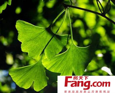 银杏叶别名白果叶,是一种具有很高药用价值的植物,银杏树为古老的