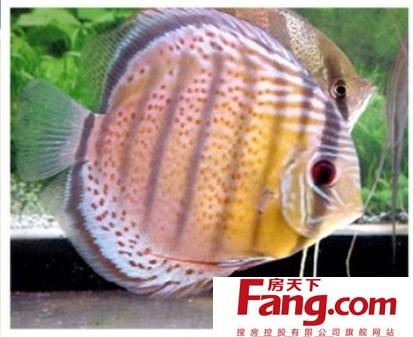 七彩神仙鱼的品种