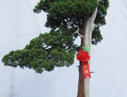 卷柏树盆景图片