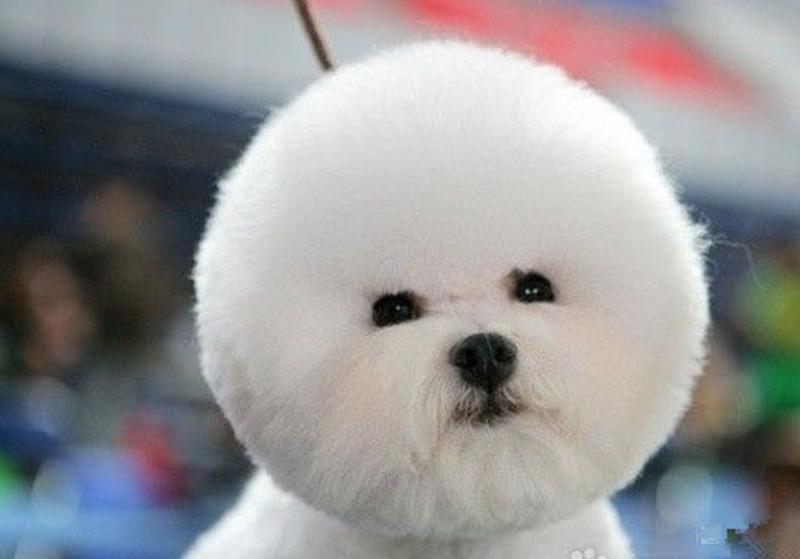 比熊犬    比熊犬,又叫做巴比熊犬(连名字都这么可爱……)这种小型