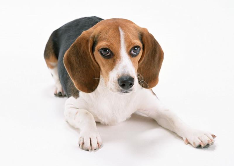 比熊犬    比熊犬,又叫做巴比熊犬(连名字都这么可爱……)这种小型犬